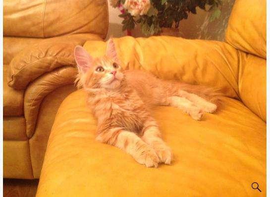 котята Мейн Кун в Екатеринбурге фото 4