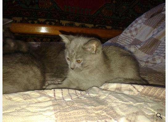 Шотландские котята скоттиш страйт в Екатеринбурге Фото 1