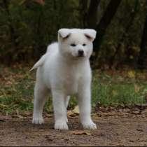 5 августа 2020 родились от красивой пары 6 щенков Акита ину, в Москве