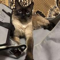 Продам сиамских котят, в г.Умань