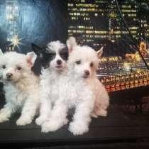 Щенки Китайской Хохлатой Собаки девочки пуховки, в Волгограде