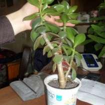 Комнатный цветок - живое дерево, в Томске
