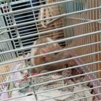 Отдам даром крысу в хорошие руки!, в г.Ольденбург