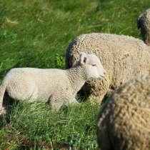 Племенные овцы породы Вандейская (Скот из Европы), в Красноярске