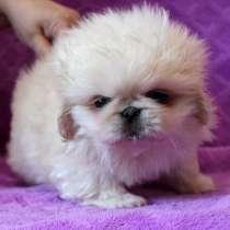 Продам щенков пекинеса, в Хабаровске