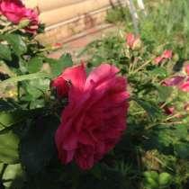 Роза, в Москве