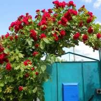 Роза плетистая, в Великих Луках