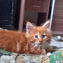 Котята мейн кун, в Брянске