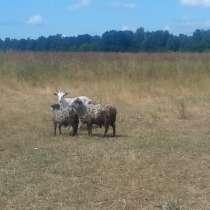Продаю коз дёшево, в Выксе