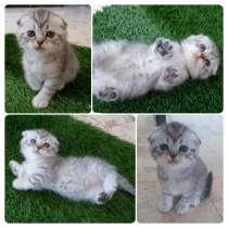 Продается шотландский вислоухий котенок (девочка), в г.Хайфа