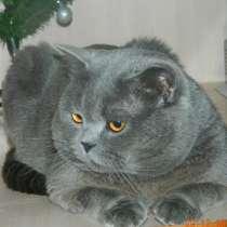 Британский кот на вязку, в Новосибирске