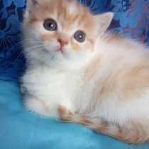 Продам котят породы Шотландская страйт и фолд, в г.Трамбал