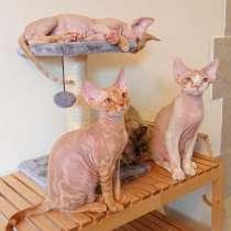 Котята DEVON REX, в г.Хайфа