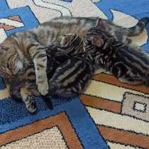 Котята мальчик и девочка британские прямоухие, в Ленинске