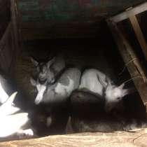 Продам бычка и козлят, в Волгограде