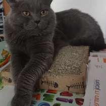 Британский кот на вязку, в г.Ришон-ле-Цион