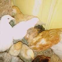 Цыплята, в Златоусте