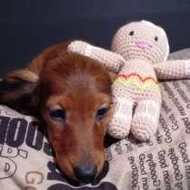 Такса миниатюрная кроличья д/ш, в г.Нарва
