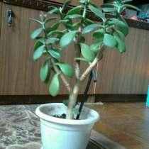 Денежное дерево, в Краснодаре
