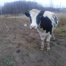 Корова дойная с телочкой, в Москве