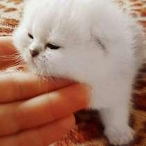Красивые шикарные котята, в г.Лимасол
