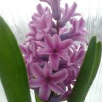 Цветы Гиацинты, в Балашове