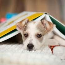 Ищут дом 11 щенков — метисы той-терьера в дар, в Москве
