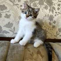 Шикарный трёхцветный котёнок с сердечком на лапке, в Москве