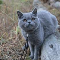Британские котята, окрас голубой, черный, в Самаре