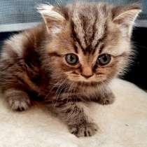 Шотландские мраморные котята, в Брянске