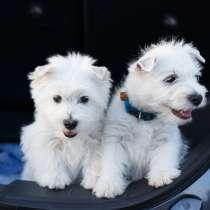 West Highland White Terrier, в г.Днепропетровск