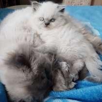 Котята перс колор поинт, в г.Эссен