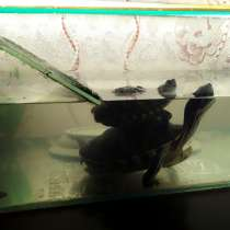 2 черепашки с аквариумом 50литров, в Ачинске