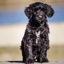 Щенки Португальской водяной собаки, в г.Брест