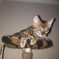 Бенгальские котята, в г.Черновцы