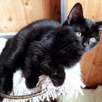 Черный котенок фенотип британец самый умный, в Красногорске