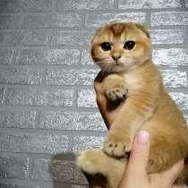 Продажа Шотландских котят, в Сочи