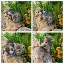 Шотландские котята, в Симферополе