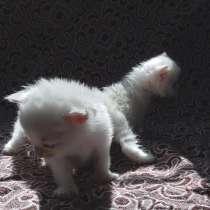 Продам котят ангорки, в Топках