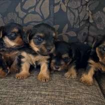 Продаем 3 породистых щенков йорка, в г.Hever