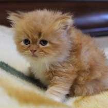 Персидские котята, в Симферополе