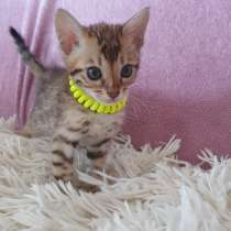 Kitten Bengal, в г.Mullheim