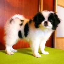 Девочка щенок Японский хин, 4 месяца, в г.Минск