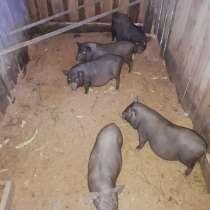 Продам свиней, в Хабаровске