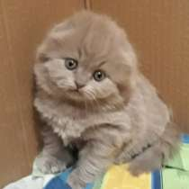 Scottish Fold, в г.Таллин