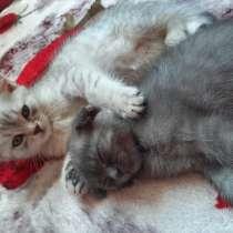 Шотландские чистокровные котята, в г.Херсон