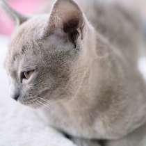 Бурманские котята в Черногории, в г.Будва