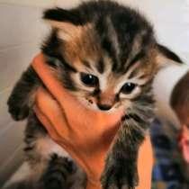 Котята в добрые руки от тайской кошки голубоглазой, в Воронеже