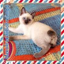 Меконгский бобтейл котята, в Архангельске