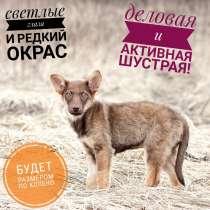 Щенок 2,5 мес. стерильная, будет по колено, в Владимире
